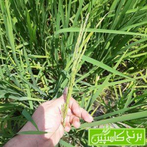 خوشه دهی برنج در شالیزار های گیلان و مازندران