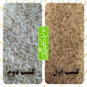 برنج کشت اول و دوم